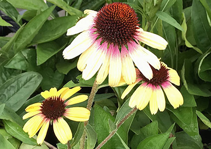 花色可愛いエキナセア新入荷2種